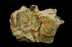 Ammonite Photo stock