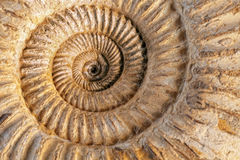Ammonite closeup. Closeup of an ammonite prehistoric fossil on a ceramic textured background royalty free stock image