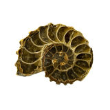 Ammonite d'isolement Photos libres de droits