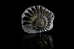 Ammonite de Pyritized Photos stock