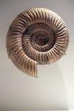 Ammonite en spirale fossilisée Photos libres de droits