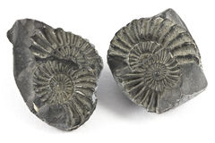 Ammonite Fossil Stock Photography