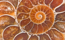 Ammonite fossil. Close up of Ammonite fossil royalty free stock photos
