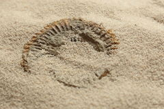 Ammonite fossil being revealed in sand Stock Photo