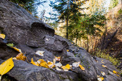 Ammonite Fossil hidden in the forest in fall time. Ammonite fossil hidden in the sub alpine forest in Fernie British Columbia stock photo