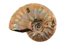 Ammonite fossil i Stock Photos