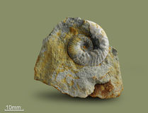 Ammonite - fossil mollusk. Royalty Free Stock Images