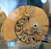 Ammonite fossil. Stock Photos