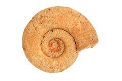 Ammonite, fossile juraassic, Allemagne Photo libre de droits