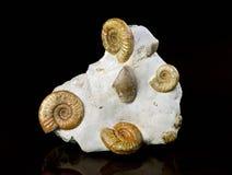 Ammonite Fossiles Image stock