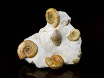 Ammonite Fossiles. Stock Image