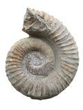 Ammonite fossilisée Image libre de droits