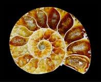 Ammonite fossilizzata Immagine Stock
