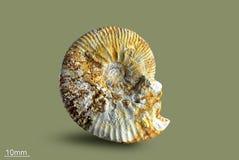 Ammonite - mollusque fossile Photographie stock libre de droits