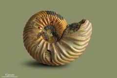 Ammonite - mollusque fossile Image stock