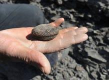 Ammonite - mollusque fossile Image libre de droits