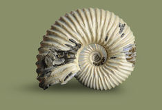 Ammonite - mollusque fossile Photos stock