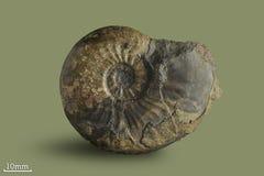 Ammonite - mollusque fossile Photos libres de droits