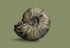 Ammonite - mollusque fossile Photographie stock