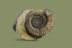 Ammonite - mollusque fossile Photo libre de droits