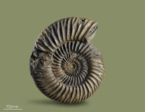 Ammonite - mollusque fossile Image stock