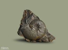 Ammonite - mollusque fossile Photos libres de droits