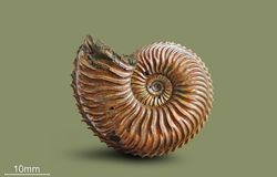 Ammonite - mollusque fossile Photographie stock libre de droits