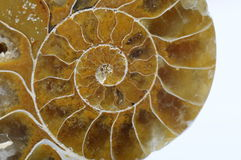 Ammonite ou escargot fossile Photos stock
