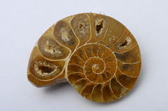 Ammonite ou escargot fossile Photographie stock libre de droits