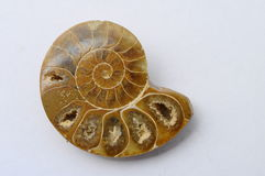 Ammonite ou escargot fossile Photo stock