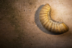 Ammonite Royalty Free Stock Photo