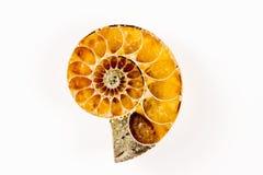 Ammonite, plan rapproché du fossile Images libres de droits