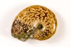 Ammonite, plan rapproché du fossile Photos libres de droits