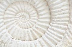 Ammonite prehistoric fossil. Closeup of an ammonite prehistoric fossil Royalty Free Stock Image