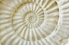 Ammonite prehistoric fossil. Stock Photo