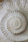Ammonite prehistoric fossil Stock Photography