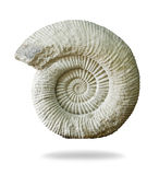 Ammonite prehistoric fossil on white background. Royalty Free Stock Photos