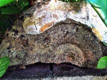 Ammonite preistorica Fotografie Stock Libere da Diritti