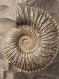 Ammonite (saligram) Royalty Free Stock Images
