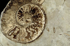 Ammonite Section Royalty Free Stock Photography