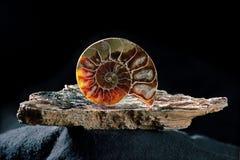 Ammonite sur le mica Photographie stock
