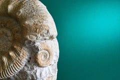Ammonite sur un fond vert Image stock