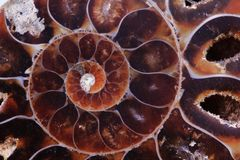 Ammonite texture Royalty Free Stock Images