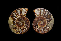 Ammonite. Two halves of an ammonite fossil, isolated on black Royalty Free Stock Photography