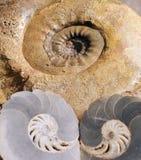 ammonitefossil Arkivbilder
