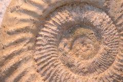 ammonitefossil Arkivfoton