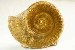 Ammoniten der braunen Farbe auf weißem Hintergrund stockfotos