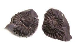 Ammoniten – Formen und Formen stockbilder