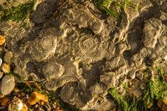 Ammoniten im Felsen lizenzfreie stockfotos