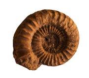 Ammoniten versteinert auf dem whte Hintergrund stockfotos